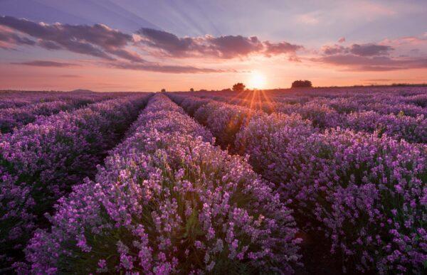 Bigstock lavender fields beautiful ima 225953938